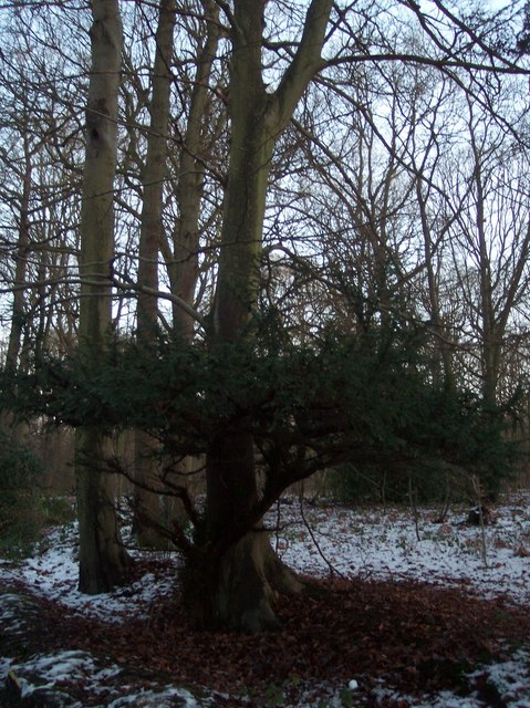 Two in one tree in Blean Woods
