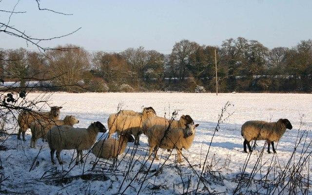 Sheep in the snow near Offchurch