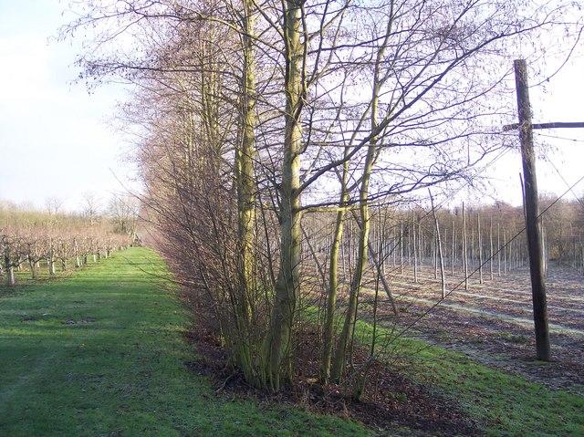 Windbreak hedge  near Marle Place