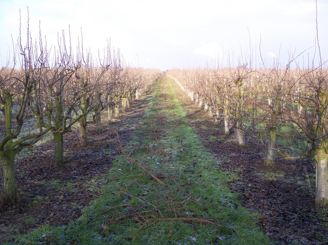 Orchard near Marle Place