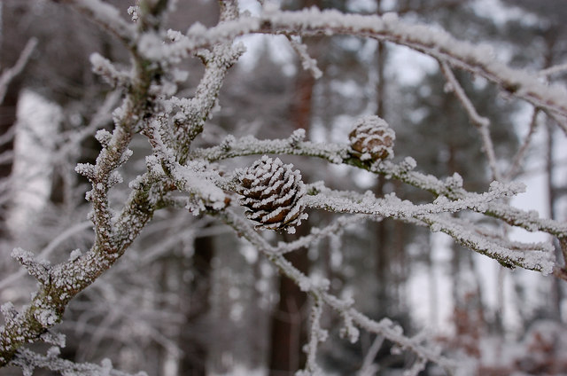 Frosted twigs and cones