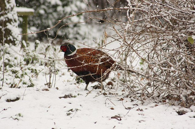 A pheasant in the snow