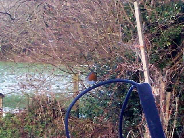 Hungry Robin in Sandy Grove Garden - Llanteg