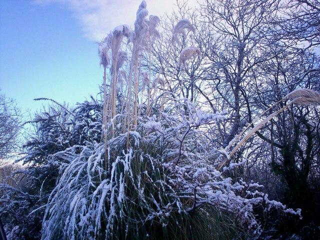 Snowy Pampas Grass - Sandy Grove Llanteg
