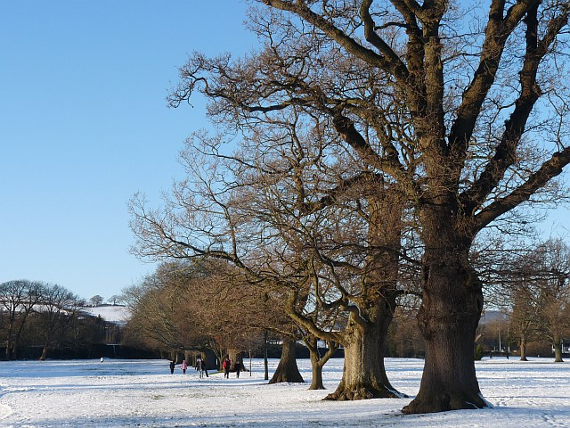 Oak trees in winter, Tredegar House Country Park