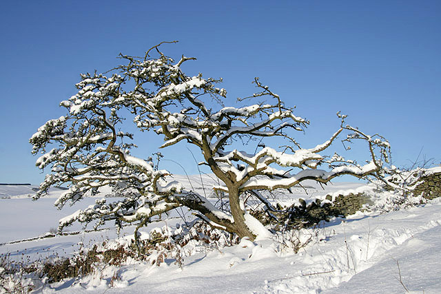A snow-covered hawthorn tree on Buckholm Hill