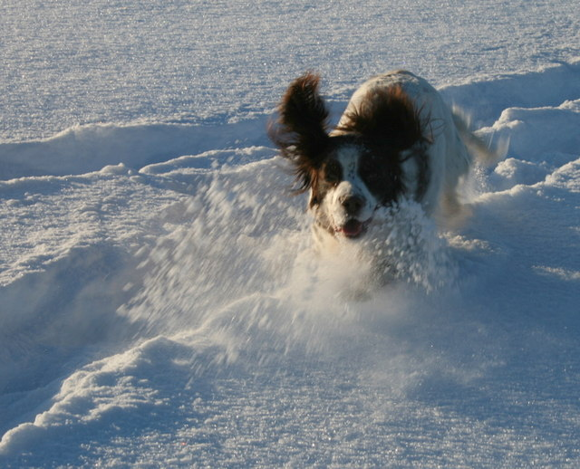 Flat out or full stop - that's a spaniel