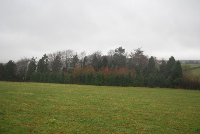 Conifer plantation near Escott Farm
