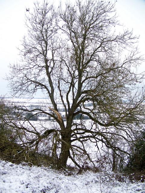 Tree, Knighton Hill