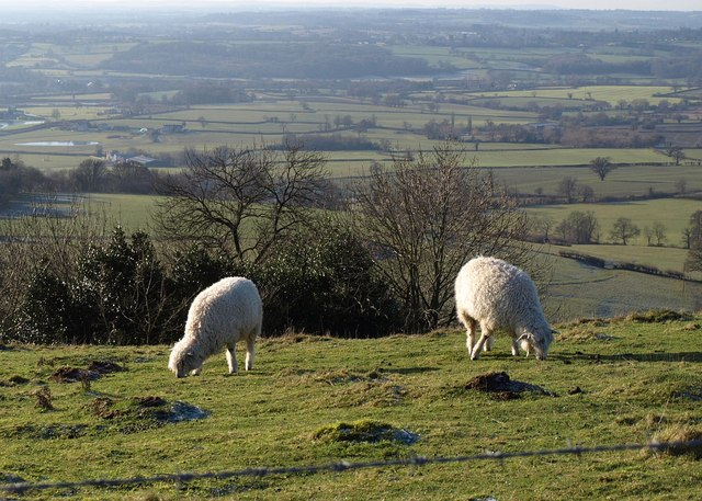Sheep on Nibley Knoll