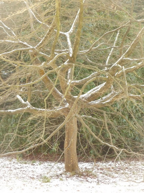 Bournemouth Gardens: a tree in snow