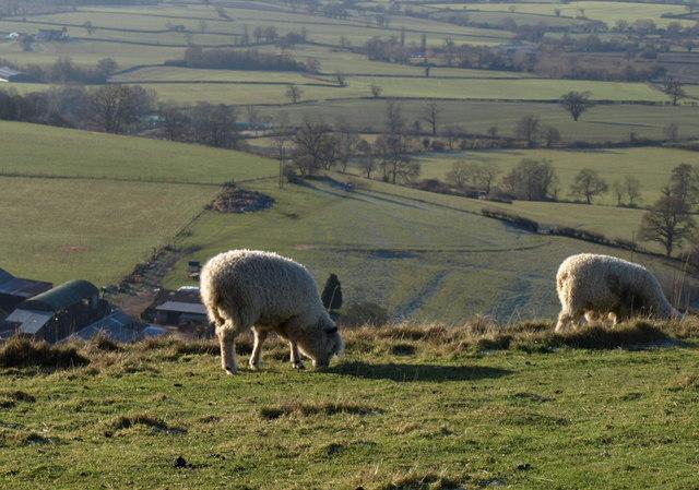 Sheep above Millmans Farm