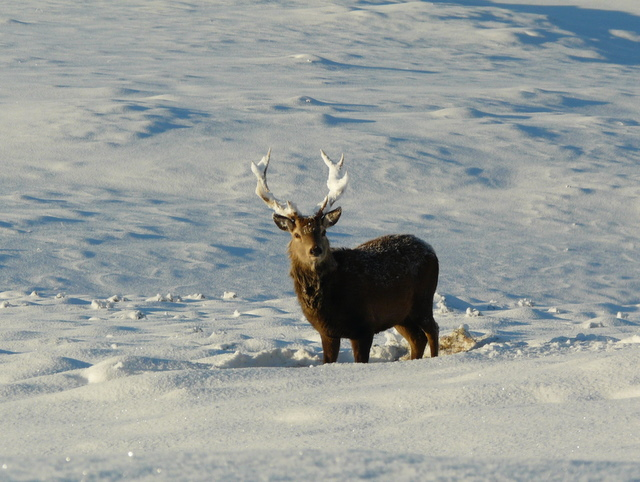Snow-decorated Stag