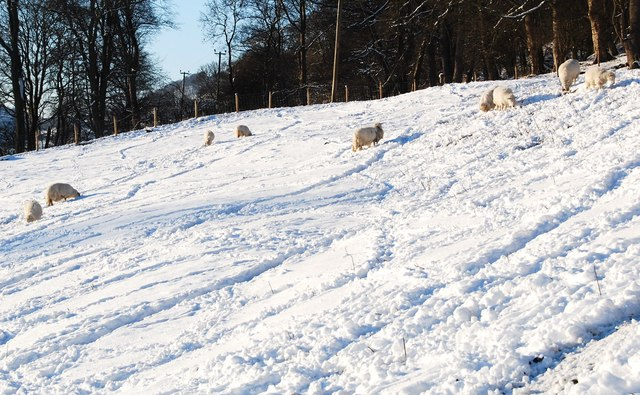 Sheep foraging in the snow