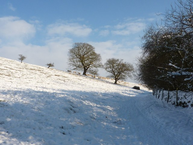 Flock of sheep coming over brow of snow covered hill