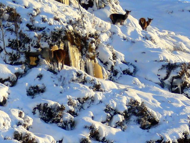 Icefall with deer, near Knockan