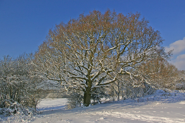 Tree on Colley Hill