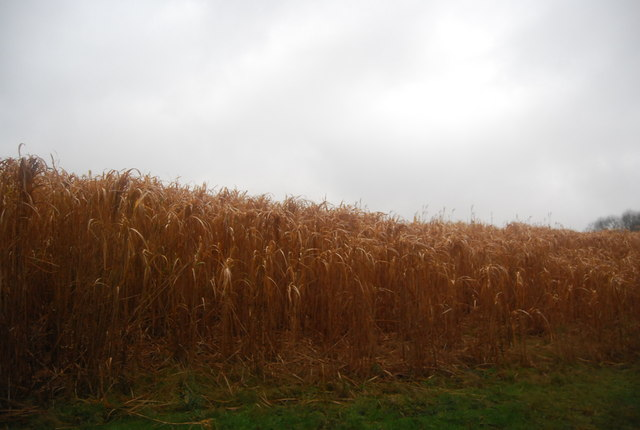 Biofuel crop by the footpath, Tuffland Copse