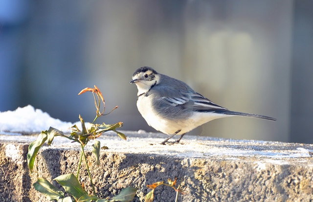 Pied Wagtail - Llantwit Major