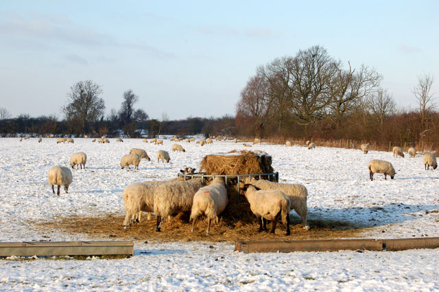 Sheep feeding in the snow, Calcutt