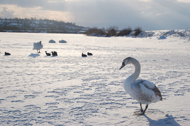 Swans and coot on the ice at Napton reservoir