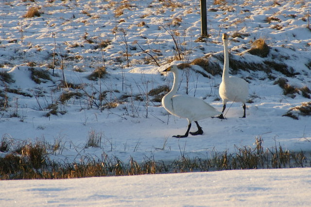 Whooper Swans (Cygnus cygnus), Burrafirth