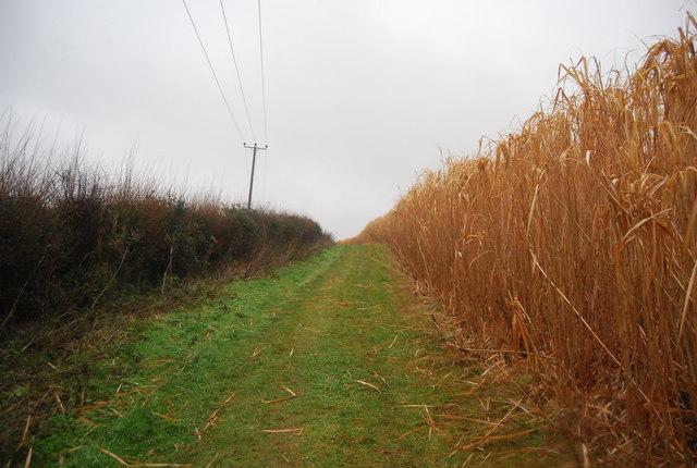 Footpath through a biofuel crop