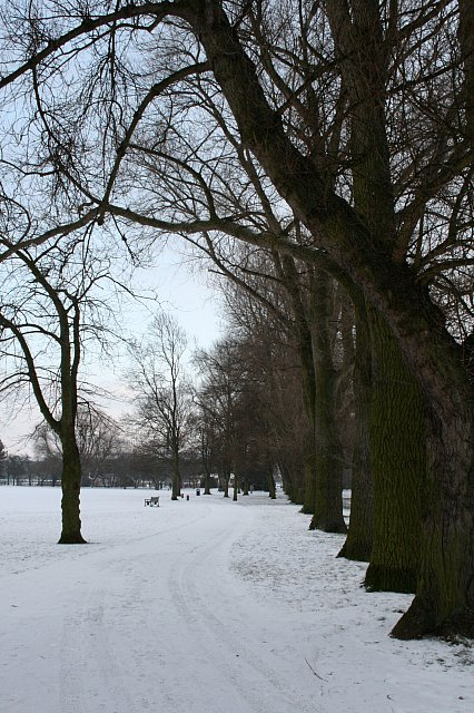 Snow and a line of poplars