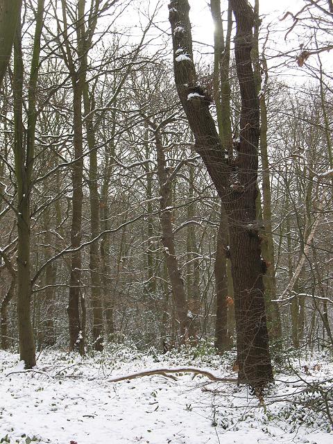 Winter in Elmstead Woods (1)