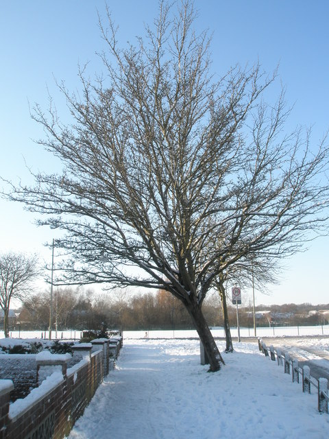 Winter tree in Selborne Avenue
