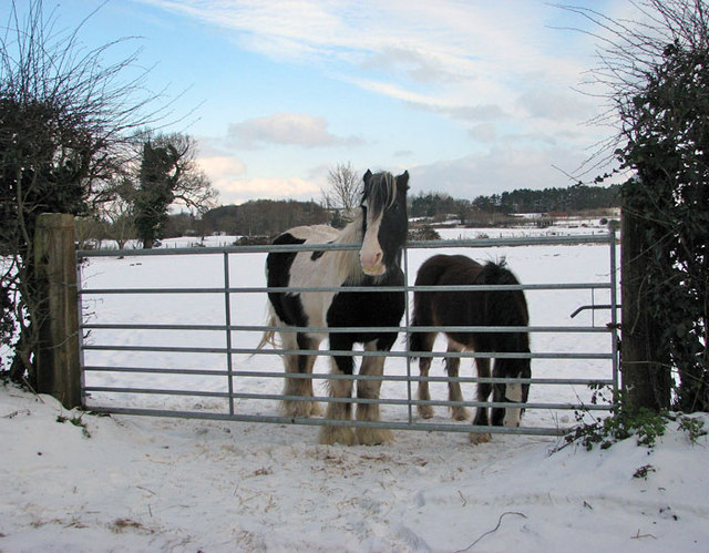 Gypsy Cob mare and foal in wintry pasture