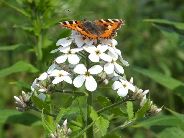 Small Tortoiseshell Butterfly (Aglais urticae)