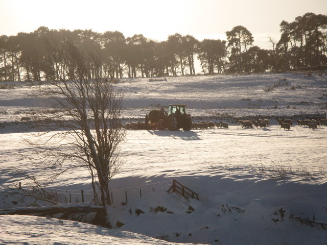 Feeding the sheep on snowy pastures near Glen Hill