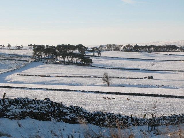 Feeding the sheep on snowy pastures near Glen Hill (2)
