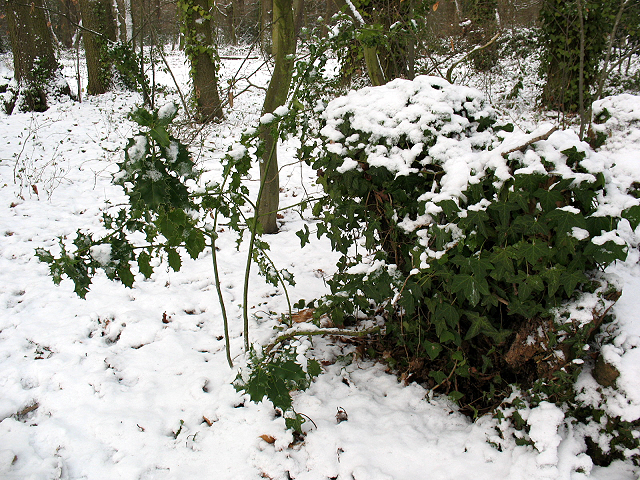 Winter in Elmstead Woods (8): the holly and the ivy