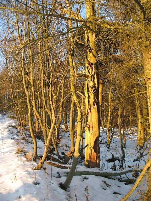 Rotten tree, Cullaloe Woods