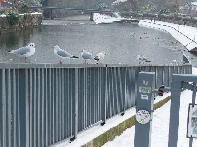 Tiverton : The River Exe & Seagulls
