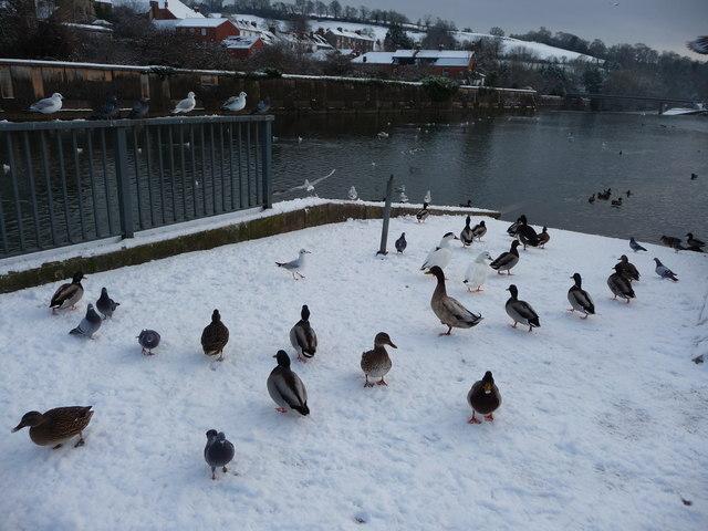 Tiverton : The River Exe & Ducks
