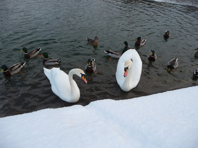 Tiverton : River Exe & Swans