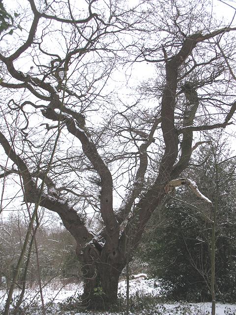 Spreading tree in Ashen Grove