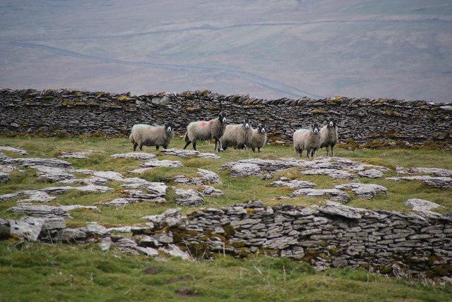 Sheep on Little Snaizwold Fell