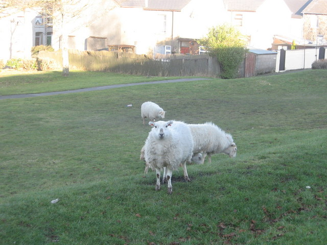 Forgeside Village Sheep