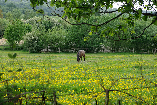 Horses don't eat buttercups