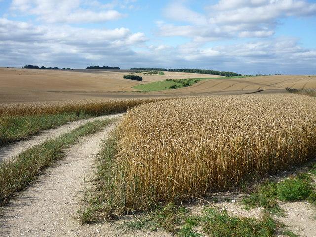 Wheat fields above West Ilsley