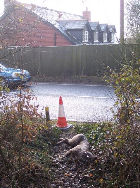 Dead deer beside the A21 Hastings Road
