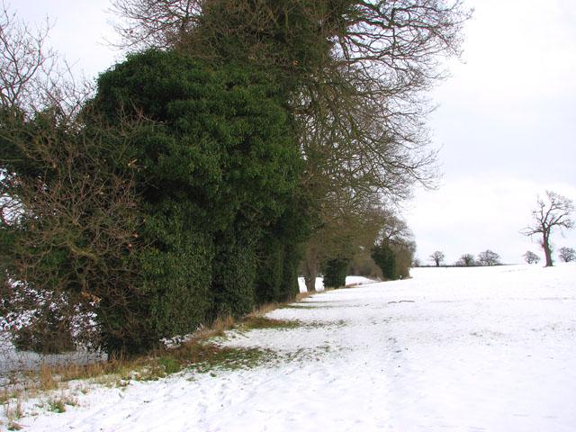 Ivy-clad trees