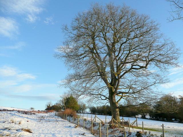 Oak on the edge of common land