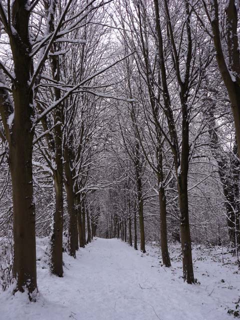 Tree lined path in the snow