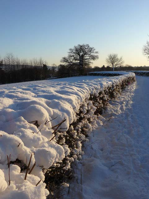 Hedge full of snow