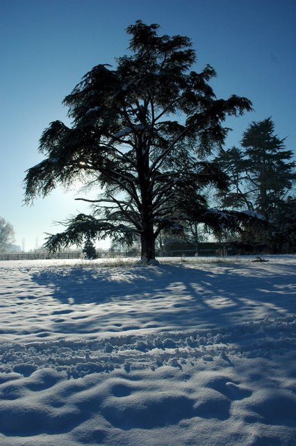 Cedar tree, Earl's Croome
